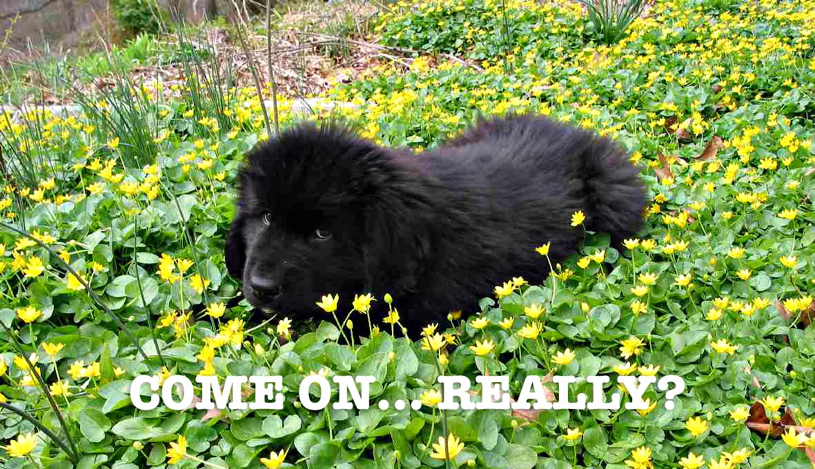 A picture of a newfoundland puppy used as an example of providing context with alt text